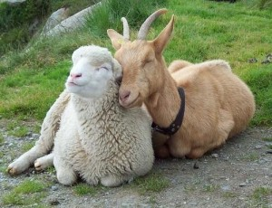 Kartais avys ir ožiai, atrodo, nuoširdžiai patiki jų meile, draugyste ir reikalingumu vienas kitam